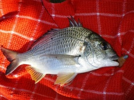 BOGGY CREEK BREAM