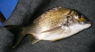 BEST OF THE BREAM 32CM