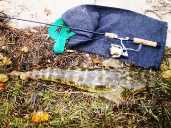 78cm Bribie Flathead