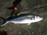 Iluka Salmon