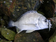 Pinkenba Bream