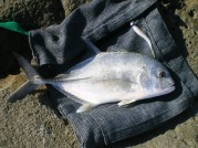 Second Trevally