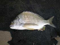 Whitepatch Bream 30cm