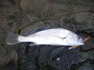 Yamba - Soapie Jewfish