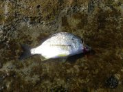 Flat Rock Bream