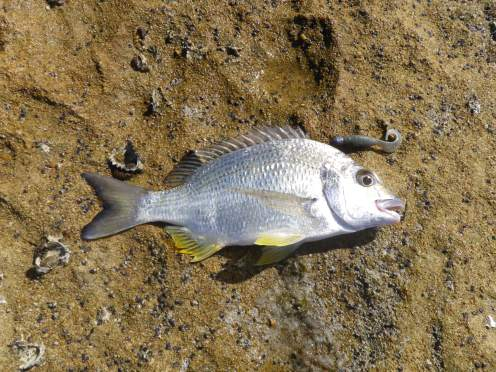 Another Flat Rock Bream grabs a soft plastic
