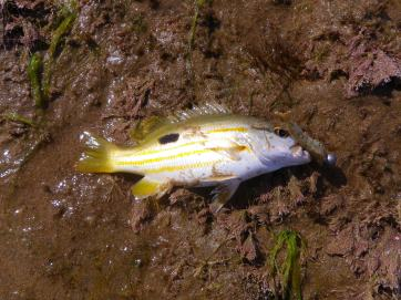 Flat Rock - Stripy Perch