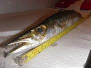 Big Pike - 45cm