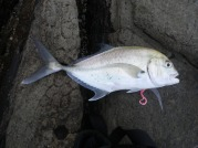 Tea Leaf Trevally on a Gulp Crazylegs soft plastic