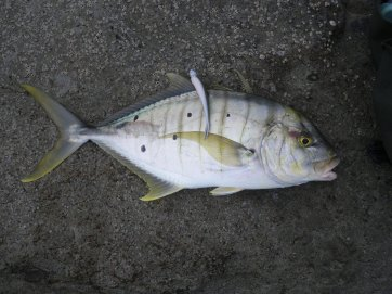 Golden Trevally on a minnow soft plastic