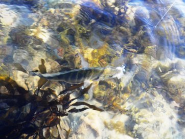 The Trevally feed on the edges of the Kelp
