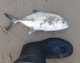 The was the biggest Trevally of the morning at about 40cm