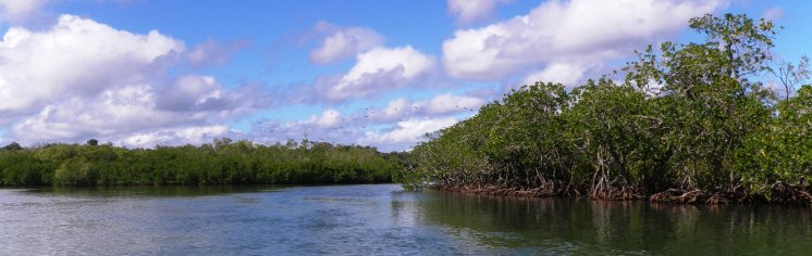 Tweed River - Mangroves