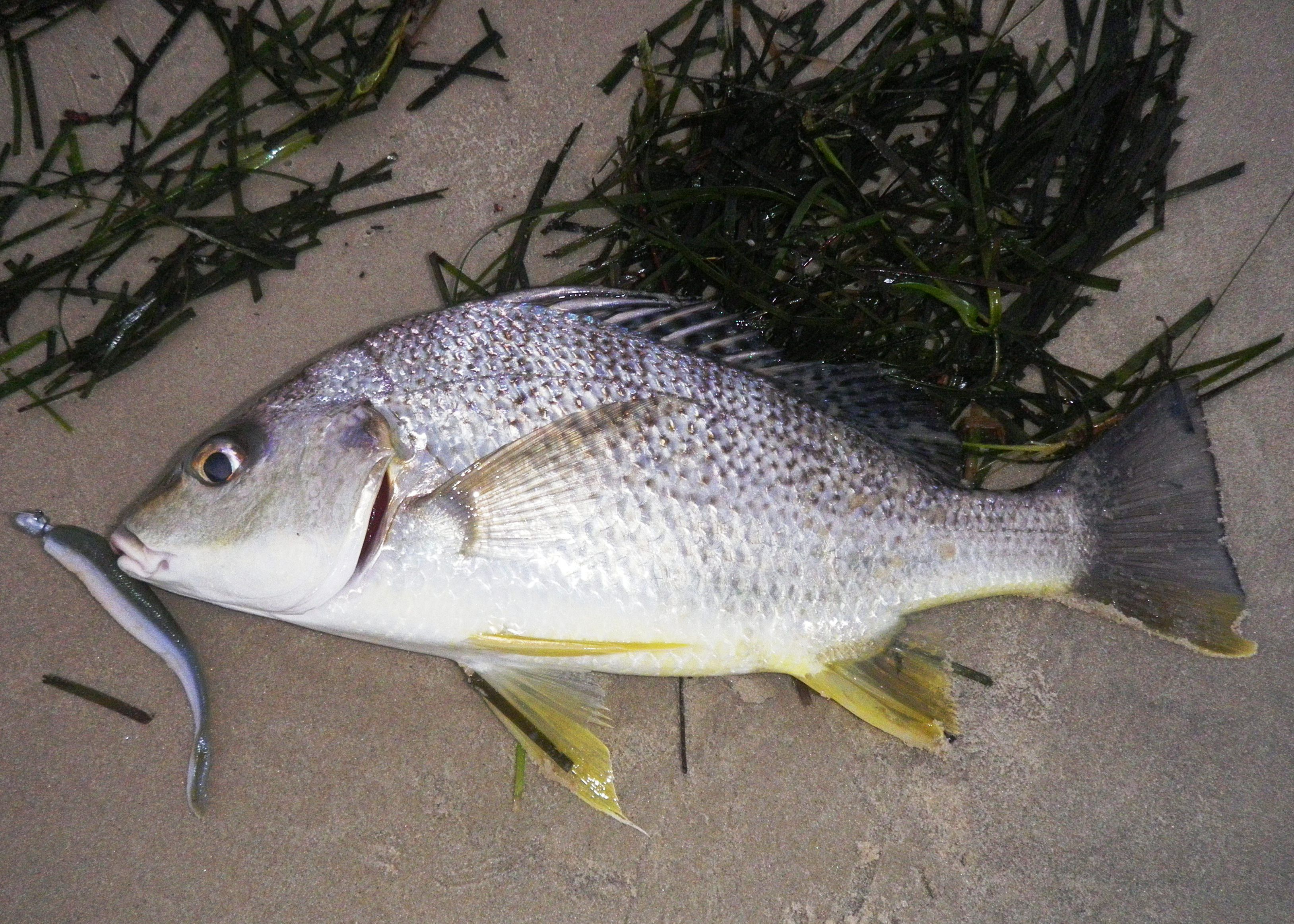 Caloundra fish 07 02 2012 3 grunter bream 35cm for Public fishing spots near me