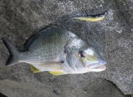 A 35cm Bream fom the rocks north of Frasers Reef