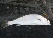Frasers Reef rocks - 43 cm Jewfish