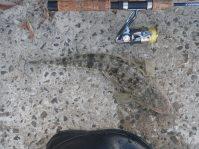 The second fish - 45cm Flathead