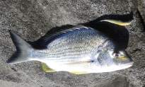 Perhaps all the rain has fired up the Bream