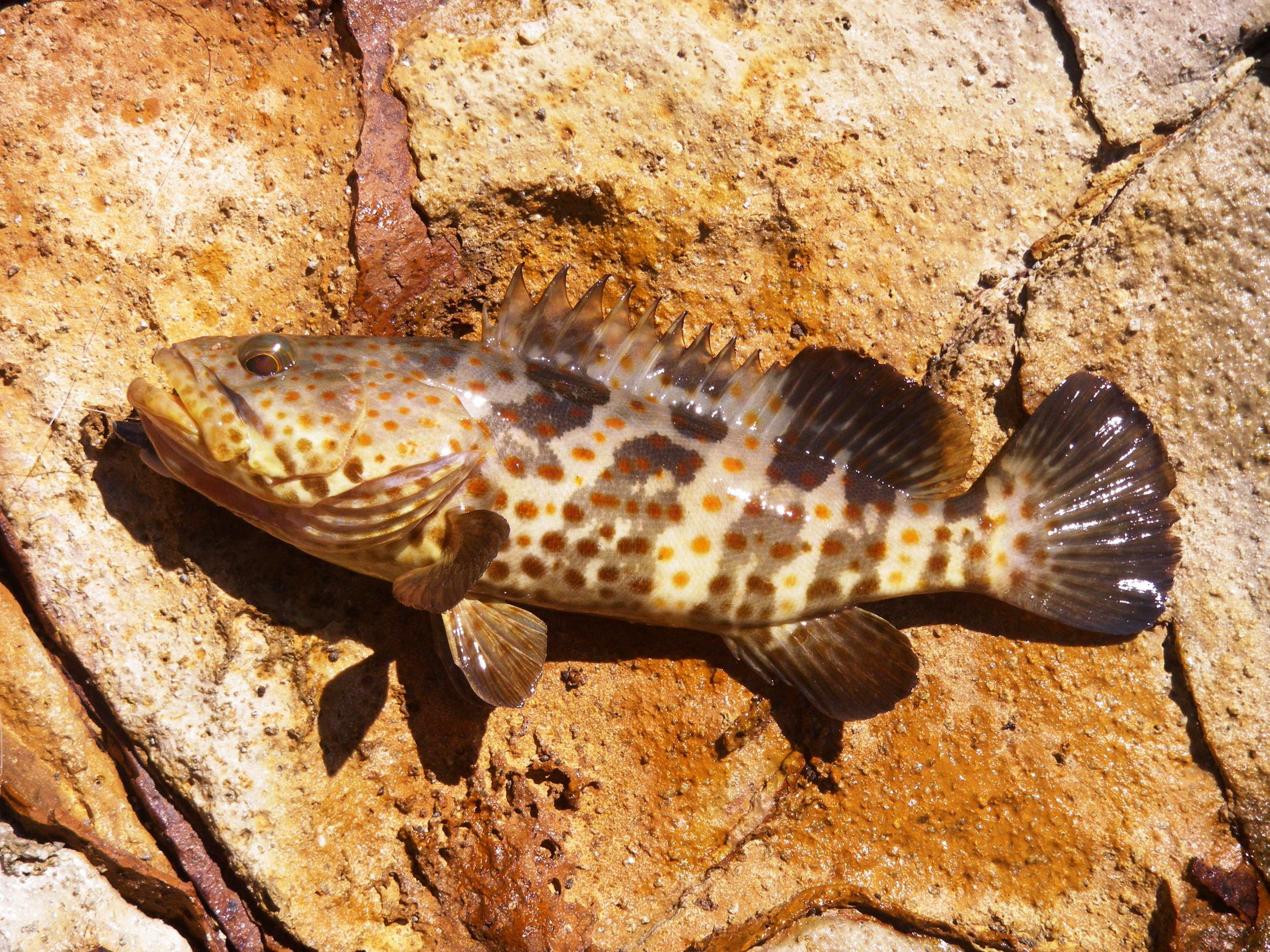 Bluff rock cod the biggest so far landangler 39 s blog for Rock cod fish