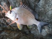 A small Bream just after sun up - Double Head