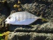 Another small Trevally