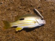 Flat Rock Stripey Perch
