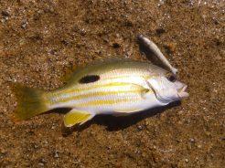 Flat Rock Stripey Perch