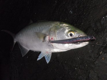 My first fish on a DUO Beachwalker VIB 100 - 45cm Tailor