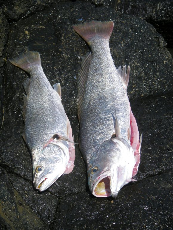 55cm and 75cm - Jewfish