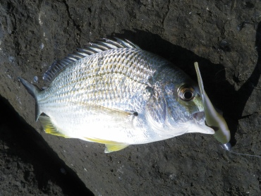 I finished the day with a few bream on soft plastics
