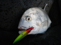 Trevally - safely hooked