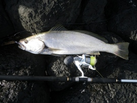 A nice jewfish-mulloway - just over 70 cm