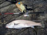 10.5 kg Iluka Jewfish GULP Crazylegs New Penny