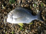 GULP Minnow gets a bream