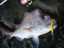 Snapper from the Rocks at Woody Head - 3.8 kg GULP curry chicken