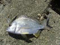 The bream were good quality but hard too find