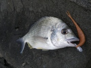 Middle Bluff bream on GULP Jerkshad