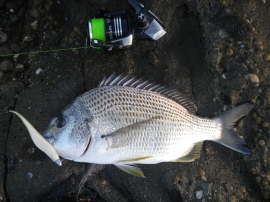 My first fish on a white GULP jerkshad - a 34cm bream