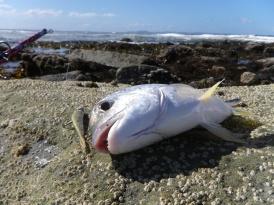 Shark Bay bream on GULP 2 inch minnow in Banana Prawn
