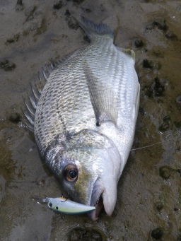 Suspending hard bodies are great in dirty water - DUO Realis Shad 59MR