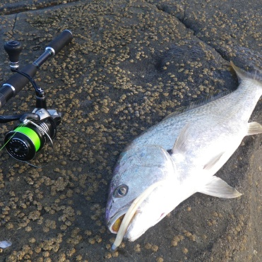 The bream was followed by a small school jewfish-mulloway