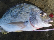 This was the best bream of the week