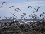 Plenty of birds chasing plenty of bait