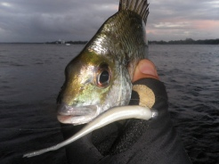 A smaller plastic tempted this small bream
