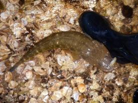 GULP 3 inch shrimp in Banana Prawn