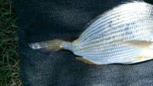 Half tailed tarwhine