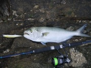 A decent Tailor stayed hooked up to the DUO Realis Jerkbait 120 SP