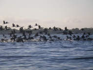 Cormorants - en masse