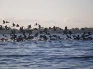 Cormorants - en masse