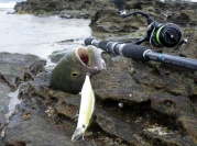 DUO Realis Jerkbait 120SP nails a Tailor at Shark bay